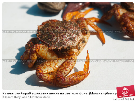 камчатский крабволосатик фото о