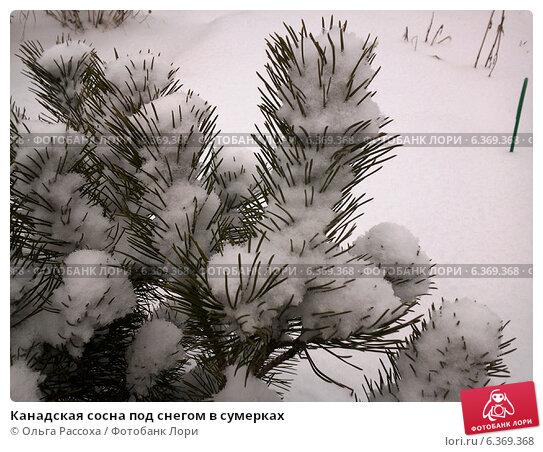Канадская сосна под снегом в сумерках. Стоковое фото, фотограф Ольга Рассоха / Фотобанк Лори