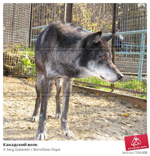 Купить «Канадский волк», фото № 134608, снято 10 октября 2004 г. (c) Serg Zastavkin / Фотобанк Лори
