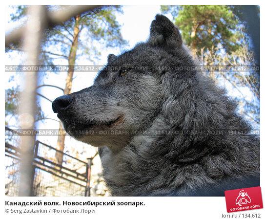 Канадский волк. Новосибирский зоопарк., фото № 134612, снято 10 октября 2004 г. (c) Serg Zastavkin / Фотобанк Лори