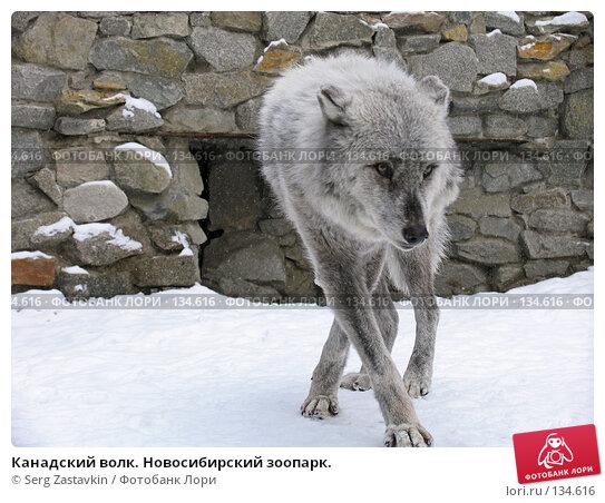 Купить «Канадский волк. Новосибирский зоопарк.», фото № 134616, снято 7 ноября 2004 г. (c) Serg Zastavkin / Фотобанк Лори
