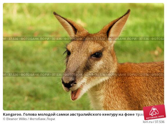 Kangaroo. Голова молодой самки австралийского кенгуру на фоне травы., фото № 37536, снято 14 мая 2007 г. (c) Eleanor Wilks / Фотобанк Лори