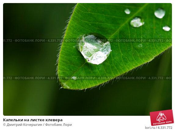 Капельки на листке клевера. Стоковое фото, фотограф Дмитрий Кочерыгин / Фотобанк Лори