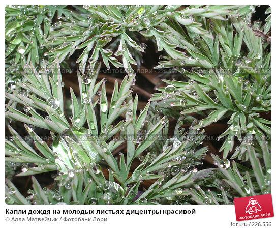 Капли дождя на молодых листьях дицентры красивой, фото № 226556, снято 20 мая 2006 г. (c) Алла Матвейчик / Фотобанк Лори