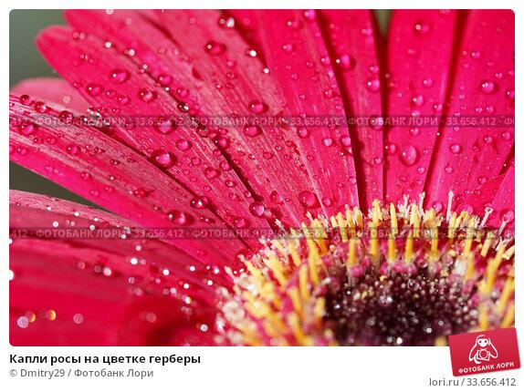 Купить «Капли росы на цветке герберы», фото № 33656412, снято 9 апреля 2020 г. (c) Dmitry29 / Фотобанк Лори
