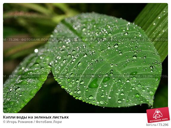 Купить «Капли воды на зеленых листьях», фото № 73296, снято 28 апреля 2007 г. (c) Игорь Романов / Фотобанк Лори