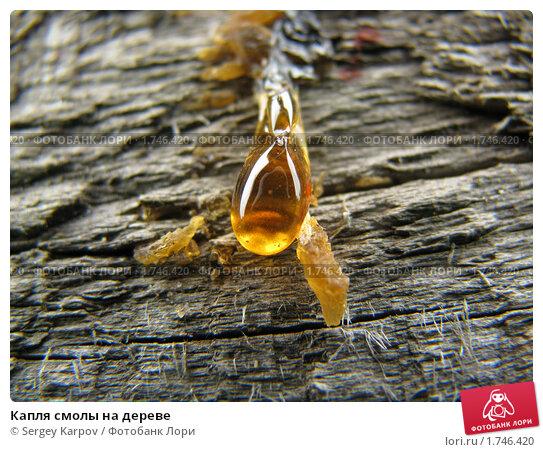 Капля смолы на дереве. Стоковое фото, фотограф Sergey Karpov / Фотобанк Лори