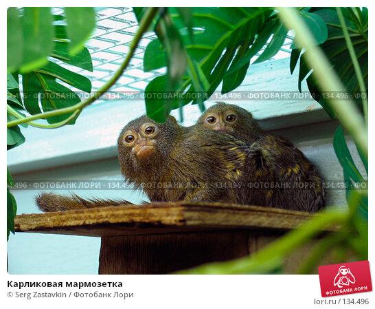 Карликовая мармозетка, фото № 134496, снято 10 октября 2004 г. (c) Serg Zastavkin / Фотобанк Лори