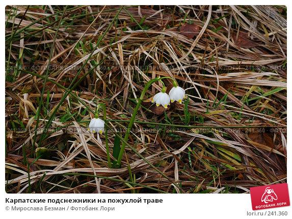 Карпатские подснежники на пожухлой траве, фото № 241360, снято 16 марта 2008 г. (c) Мирослава Безман / Фотобанк Лори