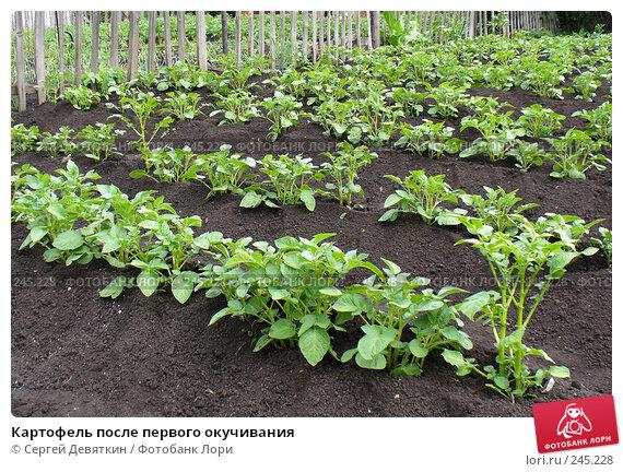 Картофель после первого окучивания, фото № 245228, снято 24 июня 2007 г. (c) Сергей Девяткин / Фотобанк Лори