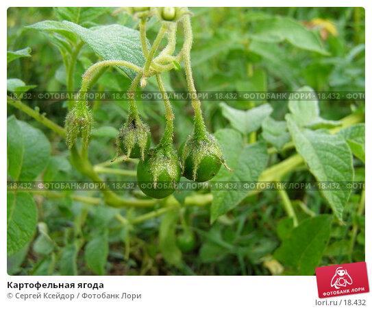 Картофельная ягода, фото № 18432, снято 3 сентября 2006 г. (c) Сергей Ксейдор / Фотобанк Лори
