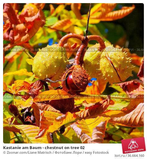 Kastanie am Baum - chestnut on tree 02. Стоковое фото, фотограф Zoonar.com/Liane Matrisch / easy Fotostock / Фотобанк Лори