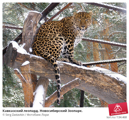 Кавказский леопард. Новосибирский Зоопарк., фото № 134468, снято 7 ноября 2004 г. (c) Serg Zastavkin / Фотобанк Лори