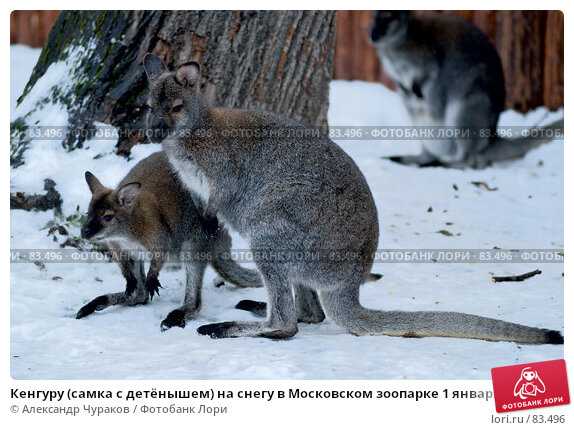 Кенгуру (самка с детёнышем) на снегу в Московском зоопарке 1 января 2007 года, фото № 83496, снято 1 января 2007 г. (c) Александр Чураков / Фотобанк Лори