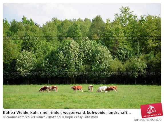 Kühe,r Weide, kuh, rind, rinder, westerwald, kuhweide, landschaft... Стоковое фото, фотограф Zoonar.com/Volker Rauch / easy Fotostock / Фотобанк Лори