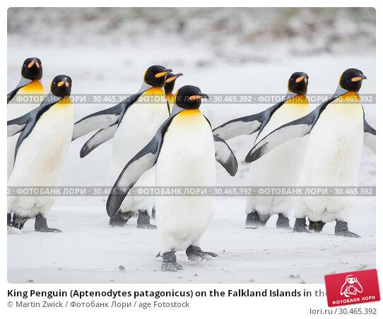 King Penguin (Aptenodytes patagonicus) on the Falkland Islands in the South Atlantic. South America, Falkland Islands, January. Стоковое фото, фотограф Martin Zwick / age Fotostock / Фотобанк Лори