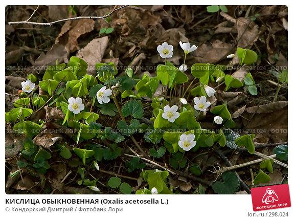 Купить «КИСЛИЦА ОБЫКНОВЕННАЯ (Oxalis acetosella L.)», фото № 298024, снято 27 апреля 2008 г. (c) Кондорский Дмитрий / Фотобанк Лори