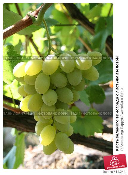 Кисть зеленого винограда с листьями и лозой, фото № 11244, снято 27 августа 2006 г. (c) Александр Паррус / Фотобанк Лори