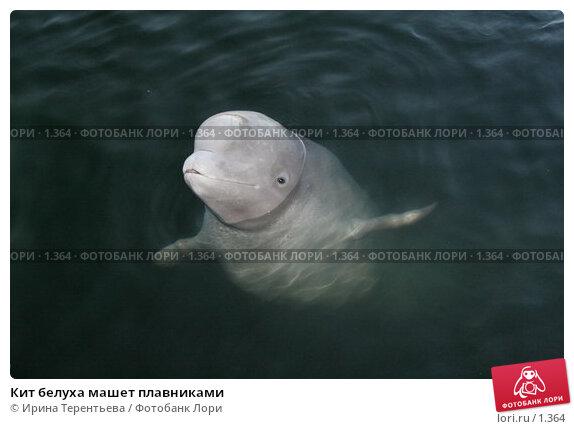 Кит белуха машет плавниками, эксклюзивное фото № 1364, снято 15 сентября 2005 г. (c) Ирина Терентьева / Фотобанк Лори
