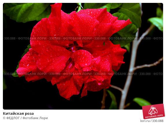 Китайская роза, фото № 330088, снято 22 июня 2008 г. (c) ФЕДЛОГ.РФ / Фотобанк Лори
