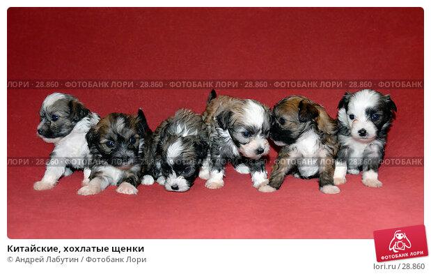 Китайские, хохлатые щенки, фото № 28860, снято 3 марта 2007 г. (c) Андрей Лабутин / Фотобанк Лори