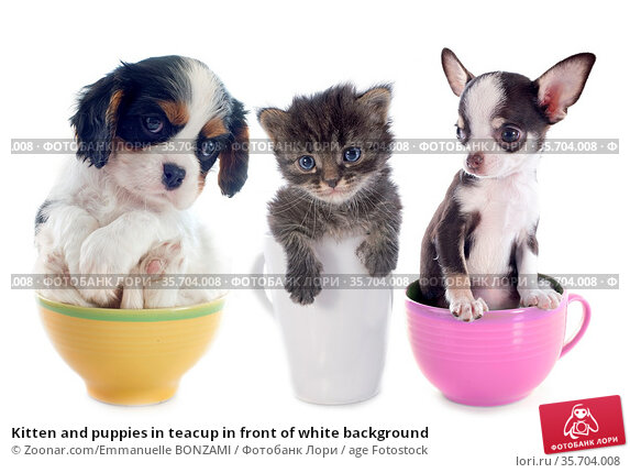 Kitten and puppies in teacup in front of white background. Стоковое фото, фотограф Zoonar.com/Emmanuelle BONZAMI / age Fotostock / Фотобанк Лори