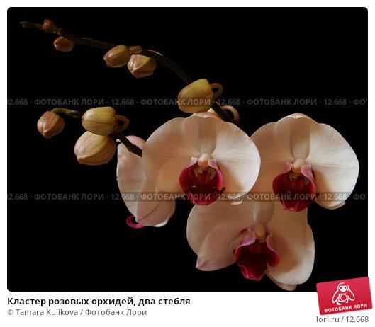 Кластер розовых орхидей, два стебля, фото № 12668, снято 10 ноября 2006 г. (c) Tamara Kulikova / Фотобанк Лори