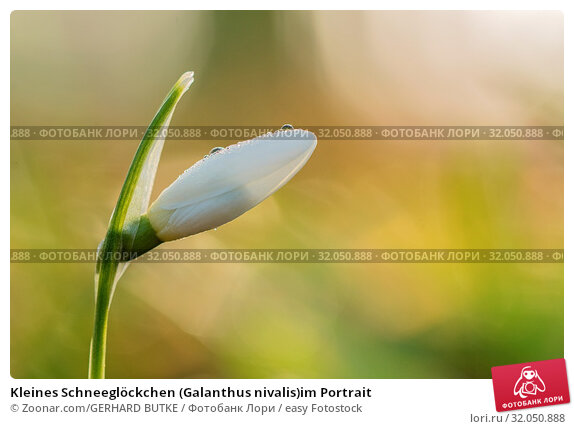 Kleines Schneeglöckchen (Galanthus nivalis)im Portrait. Стоковое фото, фотограф Zoonar.com/GERHARD BUTKE / easy Fotostock / Фотобанк Лори