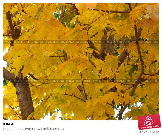 Купить «Клен», фото № 171468, снято 11 октября 2007 г. (c) Cавельева Елена / Фотобанк Лори