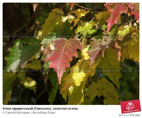 Купить «Клен приречный (Гиннала), золотая осень», фото № 519368, снято 1 октября 2004 г. (c) Сергей Бехтерев / Фотобанк Лори
