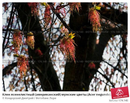 Клен ясенелистный (американский) мужские цветы.(Acer negundo)., фото № 174140, снято 27 апреля 2007 г. (c) Кондорский Дмитрий / Фотобанк Лори