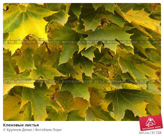 Кленовые листья, фото № 31728, снято 7 октября 2006 г. (c) Крупнов Денис / Фотобанк Лори