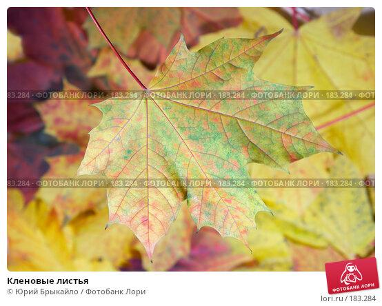 Кленовые листья, фото № 183284, снято 22 октября 2007 г. (c) Юрий Брыкайло / Фотобанк Лори