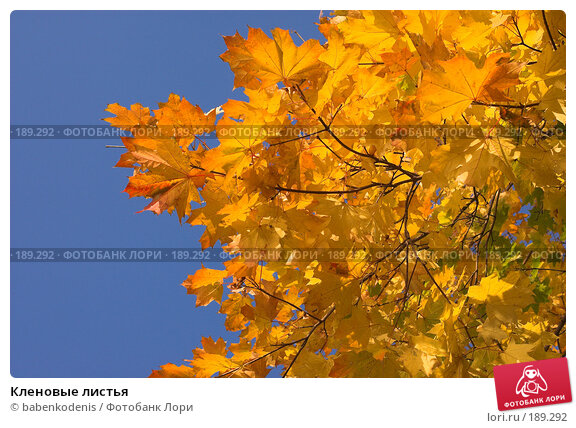 Кленовые листья, фото № 189292, снято 9 октября 2005 г. (c) Бабенко Денис Юрьевич / Фотобанк Лори