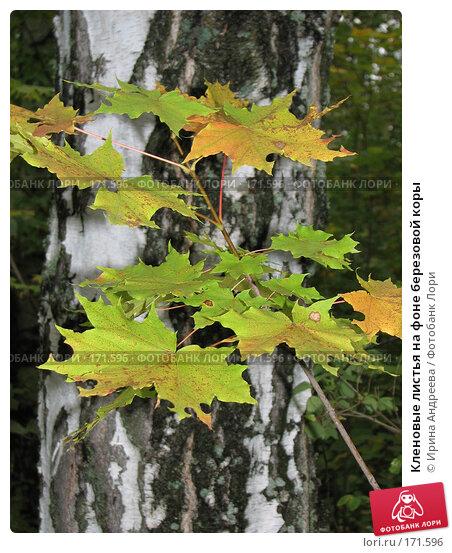 Кленовые листья на фоне березовой коры, фото № 171596, снято 16 сентября 2007 г. (c) Ирина Андреева / Фотобанк Лори