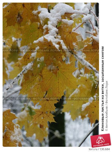 Кленовые листья на ветке, засыпанные снегом, фото № 130684, снято 15 октября 2007 г. (c) Антон Алябьев / Фотобанк Лори