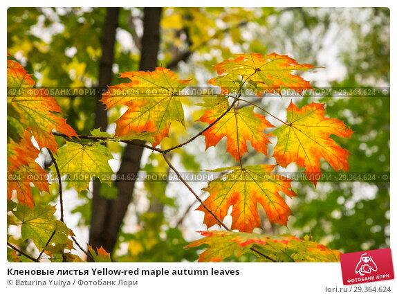 Купить «Кленовые листья Yellow-red maple autumn leaves», фото № 29364624, снято 15 октября 2011 г. (c) Baturina Yuliya / Фотобанк Лори