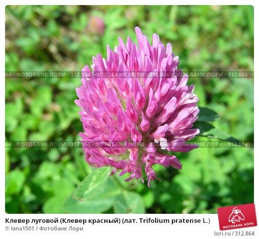 Клевер луговой (Клевер красный) (лат. Trifolium pratense L.), эксклюзивное фото № 312864, снято 4 июня 2008 г. (c) lana1501 / Фотобанк Лори