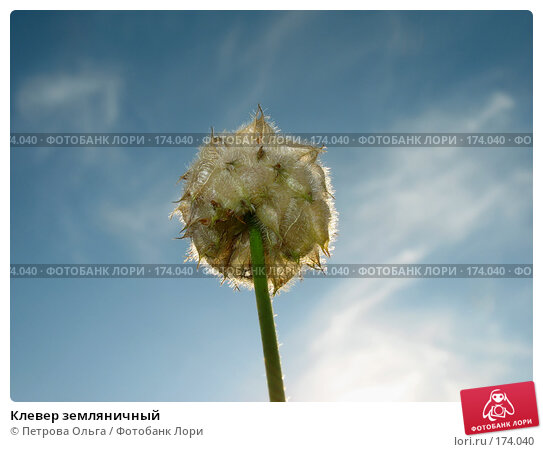 Клевер земляничный, фото № 174040, снято 12 августа 2007 г. (c) Петрова Ольга / Фотобанк Лори