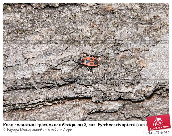 Клоп-солдатик (красноклоп бескрылый, лат. Pyrrhocoris apterus) на коре упавшего дерева, фото № 310952, снято 12 мая 2008 г. (c) Эдуард Межерицкий / Фотобанк Лори