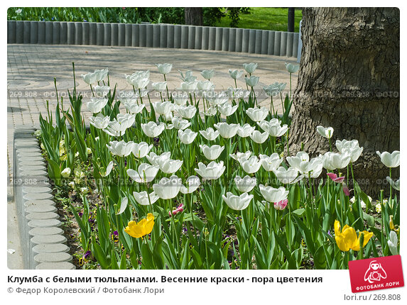 Клумба с белыми тюльпанами. Весенние краски - пора цветения, фото № 269808, снято 1 мая 2008 г. (c) Федор Королевский / Фотобанк Лори