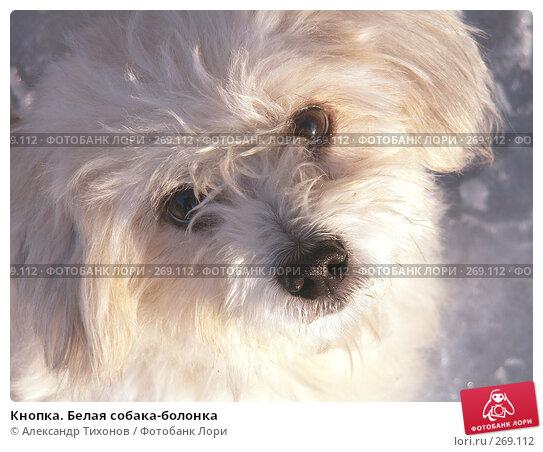 Кнопка. Белая собака-болонка, фото № 269112, снято 1 января 2004 г. (c) Александр Тихонов / Фотобанк Лори