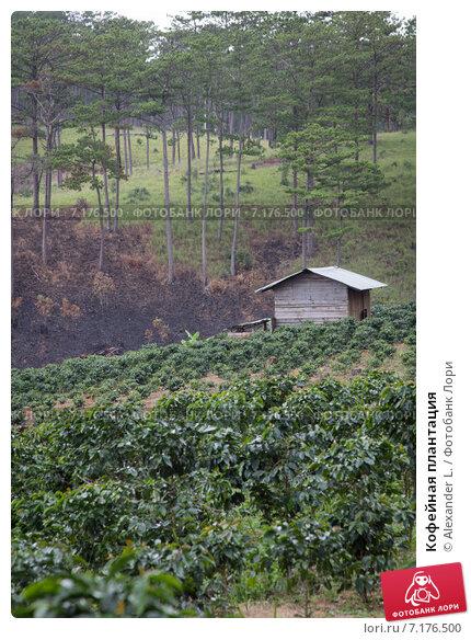 Кофейная плантация (2012 год). Стоковое фото, фотограф Alexander L. / Фотобанк Лори