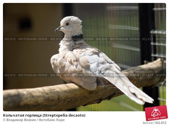 Купить «Кольчатая горлица (Streptopelia decaoto)», фото № 302812, снято 17 мая 2008 г. (c) Владимир Воякин / Фотобанк Лори