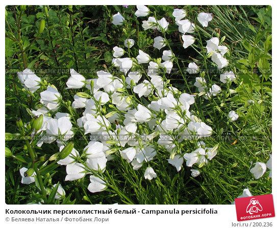 Купить «Колокольчик персиколистный белый - Campanula persicifolia», фото № 200236, снято 11 июля 2006 г. (c) Беляева Наталья / Фотобанк Лори