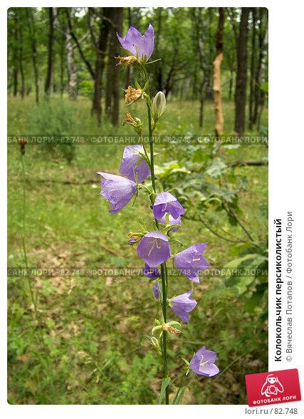 Колокольчик персиколистый, фото № 82748, снято 26 июня 2007 г. (c) Вячеслав Потапов / Фотобанк Лори