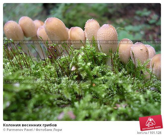 Колония весенних грибов, фото № 101128, снято 22 августа 2004 г. (c) Parmenov Pavel / Фотобанк Лори