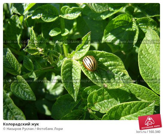 Колорадский жук, фото № 160340, снято 28 июля 2007 г. (c) Насыров Руслан / Фотобанк Лори