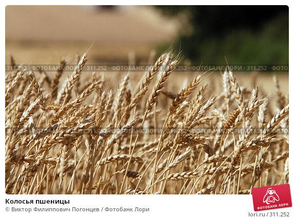 Колосья пшеницы, фото № 311252, снято 10 июля 2007 г. (c) Виктор Филиппович Погонцев / Фотобанк Лори