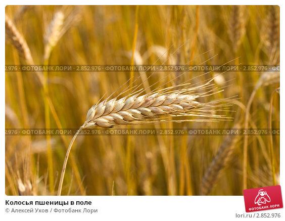 Купить «Колосья пшеницы в поле», фото № 2852976, снято 16 сентября 2007 г. (c) Алексей Ухов / Фотобанк Лори